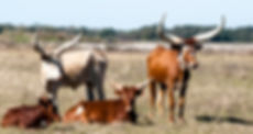 Picture of a family of ankole-watusi cattle in a southern Hillsborough County, Florida pasture as a fine art nature print for the wall of your home or office.