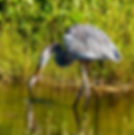 A great blue heron with a fish as a fine art nature print for the walls of your home or office.