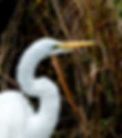 Picture of a great white egret in the reeds around Lakeland, Florida's lake Morton as a fine art nature print for the wall of your home or office.