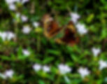 Picture of a pair of common buckeye butterflies in Ruskin,Florida's E.G. Simmons Park as a fine art nature print for the wall of your home or office.