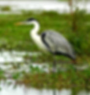 Picture of a cocoi or white necked heron in Argentina's Esteros del Ibara as a fine art nature print for the wall of your home or office.