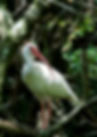 Picture of a white ibis in Tampa, Florida's Lettuce Lake Park as a fine art nature print for the wall of your home or office.