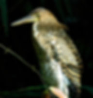 Picture of an immature bare throated tiger heron in Tortuguero, Costa Rica as a fine art nature print for the wall of your home or office.
