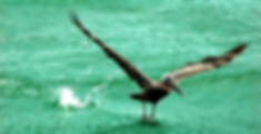 Picture of a brown pelican taking off from the waters of the Gulf of Mexico as a fine art nature print for the wall of your home or office.