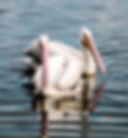 Picture of a pair of American white pelicans swimming in Lakeland, Florida's Lake Morton as a fine art nature print for the wall of your home or office.