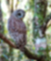 Picture of a juvenile barred owl in Tampa, Florida's Lettuce Lake Park for the wall of your home or office, as a fine art nature print.