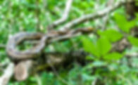 Picture of an eastern rat snake resting on a limb in Tampa, Florida's Lettuce Lake Park as a fine art nature print for the walls of your home or office.