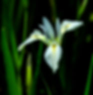 Wild iris fine art nature prints for you home or office.