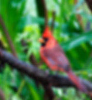 Picture of a male northern cardinal on a vine as a fine art nature print for the wall of your home or office.