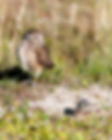 Burrowing owl and nestling as a fine art nature print for he walls of your home or office.