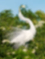 Picture of a great white egret in mating display in a rookery near Kissimmee, Florida as a fine art nature print for the wall of your home or office.