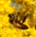 Picture of a honey bee on wand goldenrod as a fine art nature print for your home or office.
