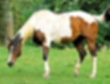 Picture of a paint horse in a Cades Cove pasture of the Great Smoky Mountains National Park as a fine art nature print for the wall of your home or office.