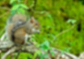Picture of a grey squirrel eating an acorn as a fine art nature print for the wall of your home or office.