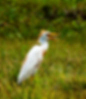 Picture of a cattle egret eating a grasshopper in a pasture near Crystal Springs, Florida as a fine art nature print for the wall of your home or office.