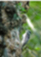 Picture of a downy woodpecker on a tree in Tampa, Florida's Lettuce Lake Park as a fine art nature print for the wall of your home or office.