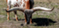 Picture of an ankole-watuse cow grazing in a southern Hillsborough County, Florida pasture as a fine art nature print for the wall of your home or office.