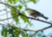 Picture of a yellow-rumped warbler among the branchs in Tampa, Florida's Lettuce Lake Park as a fine art nature print for your home or office.