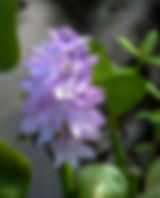 Water hyacinth bloom as a fin art nature print for the walls of your home or ofice.