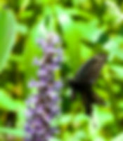 Picture of an American swallowtail butterfly on a pickerelweed flower as a fine art nature print for the wall of your home or office.