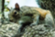 Picture of an eastern grey squirrel on an oak branch in Riverview, Florida as a fine art nature print for the wall of your home or office.