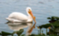 Picture of an American white pelican in the spatterdock of Lakeland, Florida's Lake Morton as a fine art nature print for the wall of your home or office.