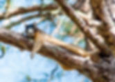 Picture of a fox squirrel resting on a pine tree branch in rural Pasco County, Florida as a fine art nature print for the wall of your home or office.