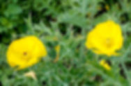 Picture of Mexican prickly poppy by a road in western Polk County, Florida as a fine art nature print for the wall of your home or office.