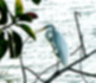 Picture of a great white egret in a tree on Mirror Lake in downtown St. Petersburg, Florida as a fine art nature print for the wall of your home or office.