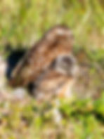 A burrowing owl and nestling as a fine art nature prnt for he walls of your home or office.