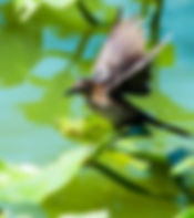 Picture of a female boat-tailed grackle balancing on spatterdock  in Lake Morton as a fine art nature print for the wall of your home or office.