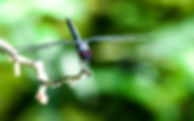 A slaty skimme dragonfly as a fine art nature print for the walls of your home or office.