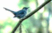Picture of a gray catbird in Tampa, Florida's Lettuce Lake Park as a fine art nature print for the wall of your home or office.