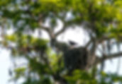 Picture of an osprey sitting on its nest in a tall cypress tree in Tampa, Florida's Lettuce Lake Park as a fine art nature print for the walls of your home or office.