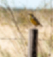 Picture of an eastern meadowlark perching on a fence post in western Polk County, Florida as a fine art nature print for the walls of your home or office.