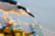 Picture of a black crowned night heron dipping its beak into the waters at Gatorland near Kissimmee, Florida as a fine art nature print for the walls of your home or office.