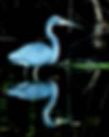 Picture of a tri-colored heron and its reflection in the Hillsborough River in Tampa, Florida as a fine art nature print for the wall of your home or office.