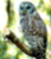 Picture of a barred owl in Tampa, Florida's Lettuce Lake Park as a fine art nature print for the wall of your home or office.