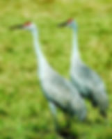 Picture of a pair of sandhill cranes in an eastern Hillsborough County, Florida pasture as a fine art nature print for the wall of your home or office.