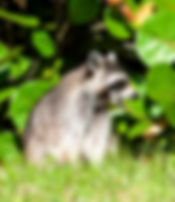 Picture of a young raccoon in Hillsborough County, Florida's E.G. Simmons Park as a fine art nature print for the wall of your home or office.