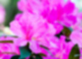 Picture of pink azaleas as a fine art nature print for the wall of your home or office.