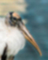 Picture of a wood stork on the banks of Lakeland, Florida's Lake Morton as a fine art nature print for the wall of your home or office.
