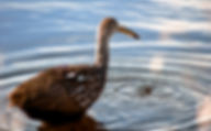 Picture of a limpkin in a pond of Lakeland, Florida's Circle B Bar Preserve as a fine art nature print for the wall of your home or office.