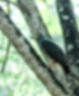 Picture of a roadside hawk in a tree in southwestern Costa Rica as a fine art nature print for the wall of your home or office.