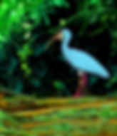 Digital picture of a blue ibis on a log in the Alafia River in Riverview, Florida as a fine art print for the wall of your home or office.