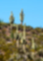 Suuaro cactus as a fine art print for the walls of your home or office.