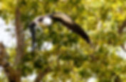 Picture of a swallow-tailed kite taking off from a tree in E.G. Simmons Park as a fine art nature print for the wall of your home or office.