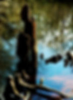 Picture of a cypress knee where the Little Withlacoochee River meets the Withlacoochee River as a fine art nature print for the wall of your home or office.