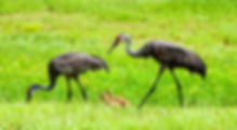 Picture of a sandhill crane family taking a walk in the rain in Riverview, Florida as a fine art nature print for the walls of your home or office.