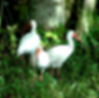 Picture of three white ibises in Lakeland, Florida's Lake Parker Park as a fine art nature print for the wall of your home or office.